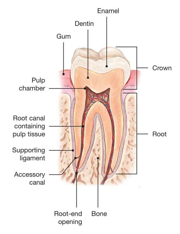 Endodontic Care Dexter Endodontics Matthew G Healy Dds Ms